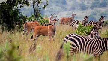 Ruanda luonnonpuisto safari