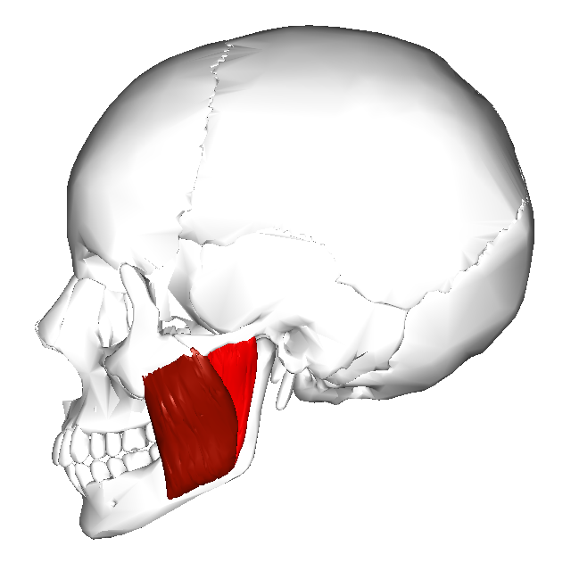 Masseter_muscle_-_lateral_view