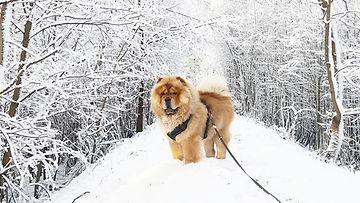 Frank-koira