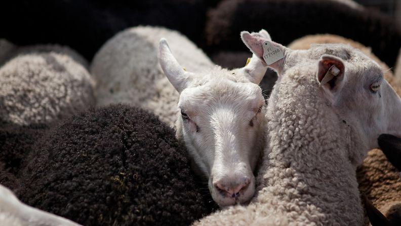 AOP Lammas lampaat lampaita 1.03372758