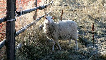 AOP Lammas lampaat lampaita  1.03525964