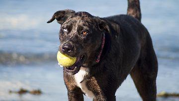 koira, tennispallo
