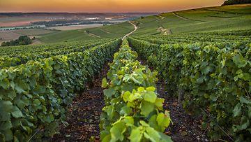 samppanjatila viiniviljelmä
