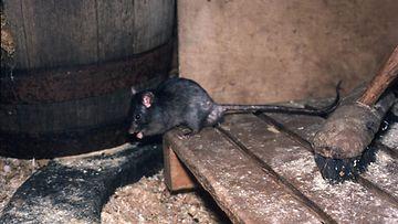 AOP, rotta, tuholainen, jyrsijä