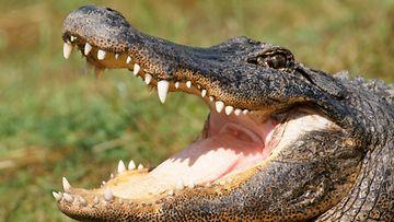 Alligaattori kuono auki