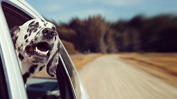 Koira ja auto