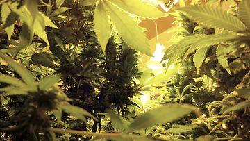 Kannabis kasvatus viljelmä huumeet