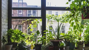 Viherkasvit ikkunassa