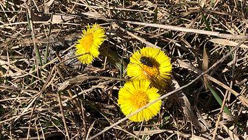 kevät, leskenlehti