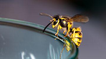 ampiainen lasin reunalla