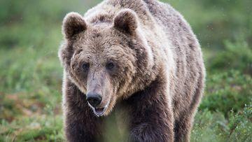 karhu kuvituskuva 2 AOP