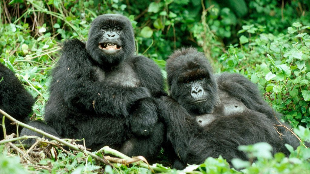 Kuinka suuri on gorillat munaa