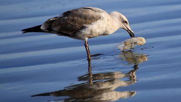 AOP muovi linnut lokki meri