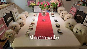 Whitemoonwalkerbichons 2