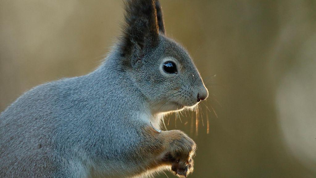 Orava Lemmikkinä