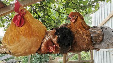 martti kukko ja kanat