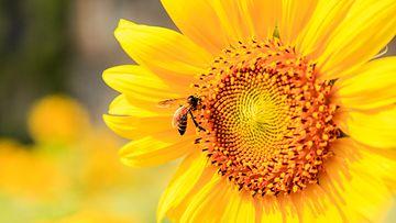mehiläinen ampiainen kukka