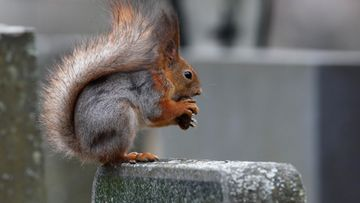 orava kuvituskuva