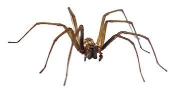 Varastohämähäkki