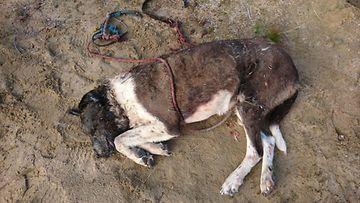 päähän ammuttu koira enontekiö