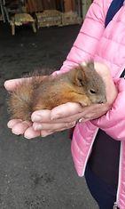 Hyvinkään orava
