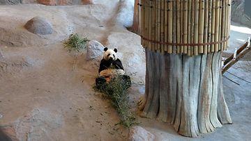 Ähtärin Eläinpuisto 1.6.2019 panda