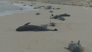 Kap Verde melonipäävalaat