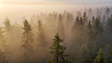 AOP syksy, sää, metsä, aamu