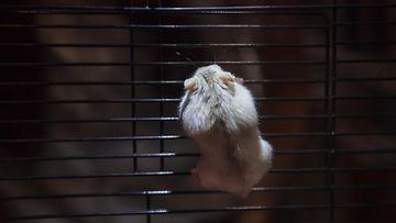 aop hamsteri, häkkilemmikki