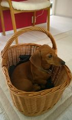 Nipsu-koira