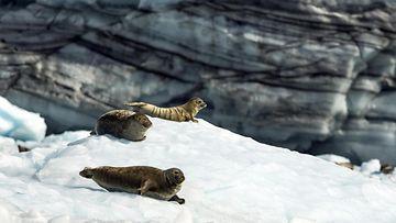 AOP Hylkeet Alaskassa