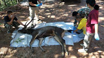 kuollut peura thaimaa roskat (1)