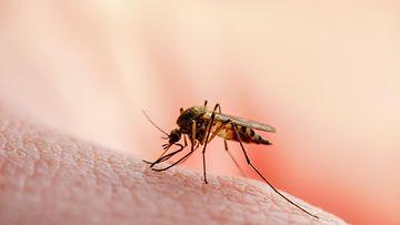 moskiitto, hyttynen