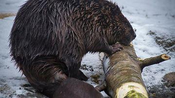 Majava Ähtärin eläinpuistossa. Kuva: Timo Ahopelto.