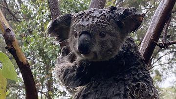Tämä märkä koala kuvattiin puussa 17. tammikuuta  50 kilometrin päässä Sydneystä.