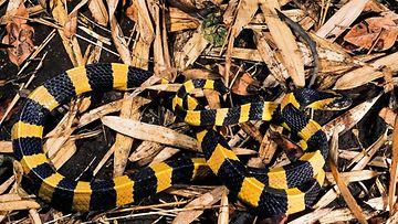 AOP kratti käärme