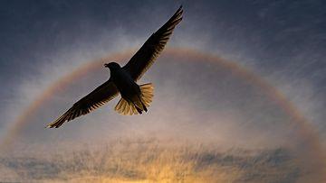"""Lietolainen luontokuvaaja Rainer Carpelan voitti tällä kuvallaan """"Somewhere over the rainbow"""" pohjoismaisen Nordic Nature Photo Contest 2020 -kilpailun pääpalkinnon."""