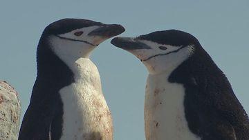 Myssypingviinit