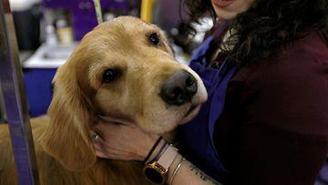AOP Westminster koiranäyttely söpö
