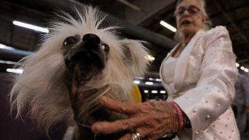 AOP Westminster koiranäyttely kiinanharjakoira