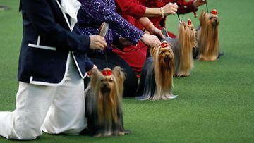 AOP Westminster koiranäyttely terrierit rivissä