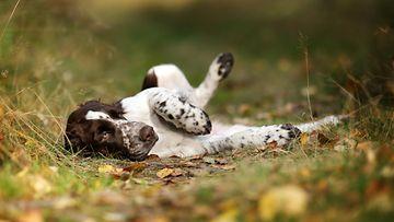 Koira leikkii maassa