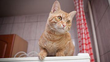 kissa, jääkaappi