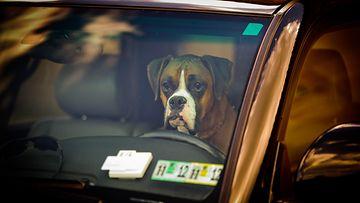 bokseri, koira, autossa
