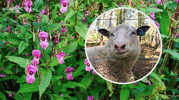 Jättipalsami ja lampaat
