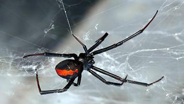 Lacrodectus Hasselti -lajin hämähäkki.
