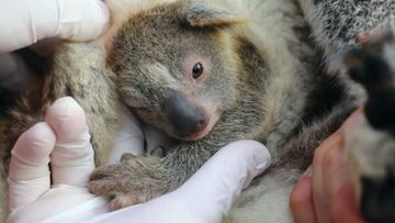 koala cnn
