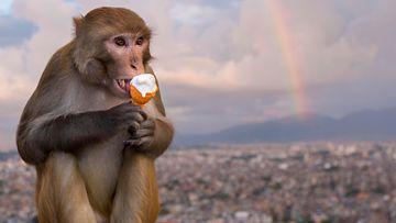 AOP apina Katmandu Nepal reesusmakaki jäätelö