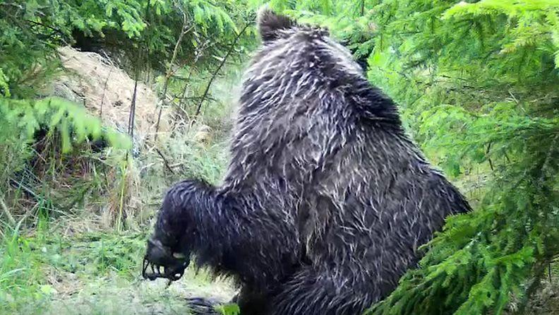 karhu lieksa