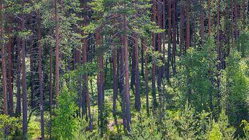 AOP metsä luonto